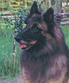 BELGIAN SHEPHERD DOG, BELGIAN SHEEPDOG BREEDER BRITISH COLUMBIA CANADA CLUB BC