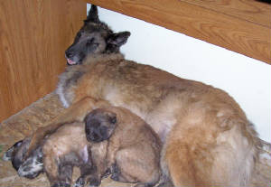 belgian shepherd puppies